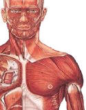 Muscular System Models - human muscles